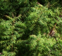 neem_leaves